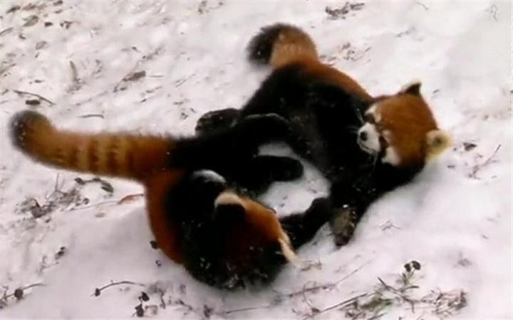 失智症患病风险,小熊猫幼崽戏雪